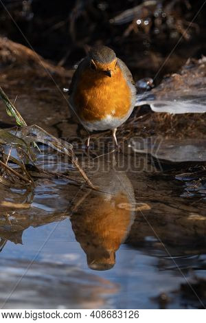 Watchful Robin Bird (rotkehlchen) Searching For Worms At A River, With Reflection In Water