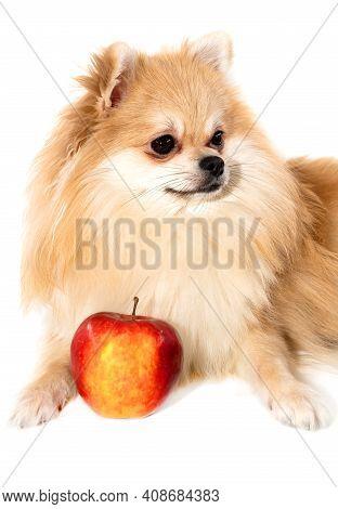 Dog. Pomeranian Pomeranian Close-up Lies Next To An Apple. Dog Food And Proper Pet Food