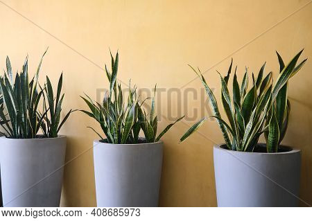 Snake Plant, Sansevieria  In Modern Cement Gray Pots Against Yellow Wall Decorated Inside Building,