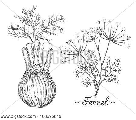 Fennel Spice Herb Root And Stem Botanical Set. Herb Bulb. Dill Stalk With Leaves. Fresh Natural Heal