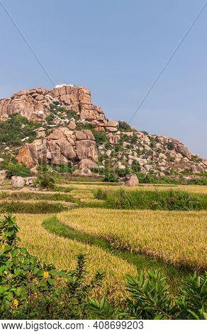 Hunumanahalli, Karnataka, India - November 9, 2013: Portrait, Rice Felds Landscape With Green Weed S