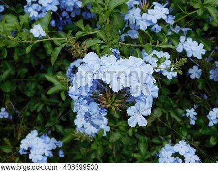 Flores Colores Azules De Una Planta De Jardin