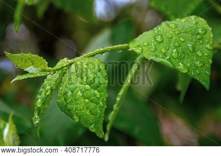 Water Drops On The Green Leaves. Beautiful Close Up Nature Background. Freshness Concept