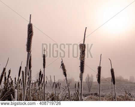 Aquatic Plant Cattail In White Frost In Frosty Winter. Marsh Plant Cattail. Swamp Reeds. Icing. Fros