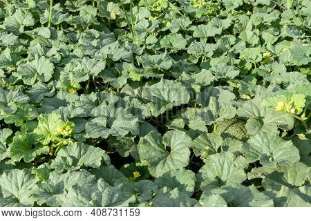 Fragment Of A Field With Leaves Of Tops And Melon