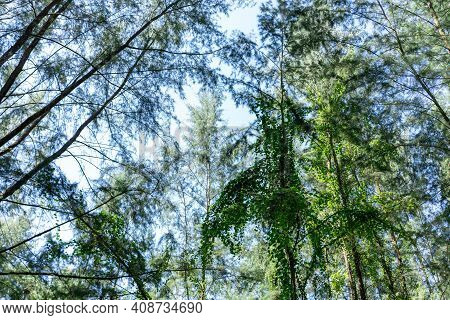 Beautiful Forest In Spring With Bright Sun Shining Through The Trees. Singapore Green Forest