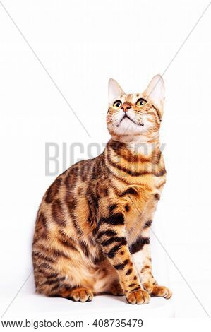 Amazing Bengal Cat Sitting On White Background. Unique Breed Of Domestic Cats With Spotted Coloratio
