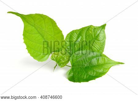 Young Sprout Plukenetia Volubilis, Commonly Known As Sacha Inchi, Sacha Peanut, Mountain Peanut, Inc