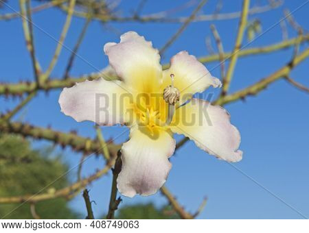 Closeup Detail Of Flowering Silk Floss Tree Plant Ceiba Speciosa With Large Flower In Full Bloom Sho