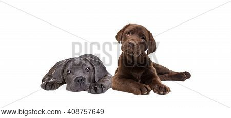 Chocolate Labrador And Cane Corso Puppy Isolated On A White Background