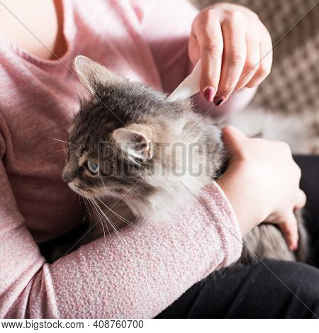 Young Woman Prevent Flea Infection Of Her Cat, With Using Flea Remedy.