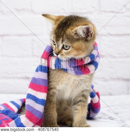 Kitten Golden Ticked Scottish Chinchilla Straight On A White Background. The Cat Stands In A Knitted