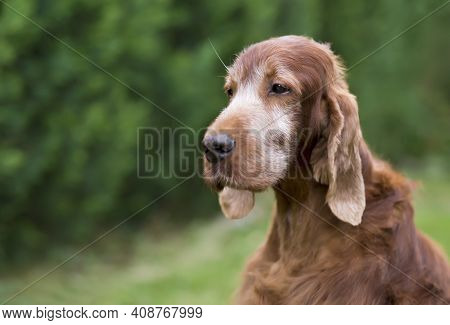 Face Of A Beautiful Grey Head Irish Setter, Old Pet Dog Euthanasia Concept.