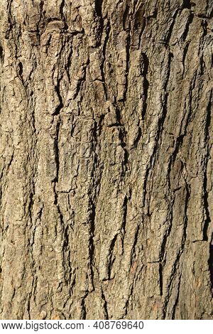 Weeping Japanese Pagoda Tree Bark Detail - Latin Name - Sophora Japonica Pendula
