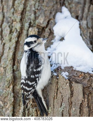 Downy Woodpecker On A Tree Pecking Through The Snow
