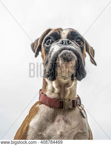 Funny Face 9 Months Old Purebred Golden Puppy German Boxer Dog Closeup