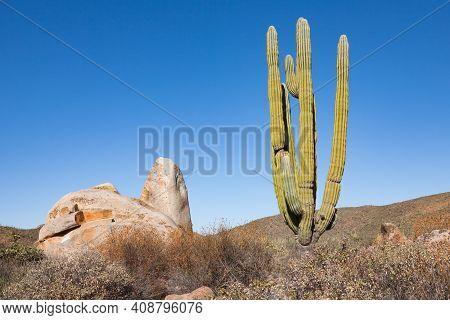 Cardon Or Elephant Cactus Pachycereus Pringlei Next To A Rock In Baja California, Mexico