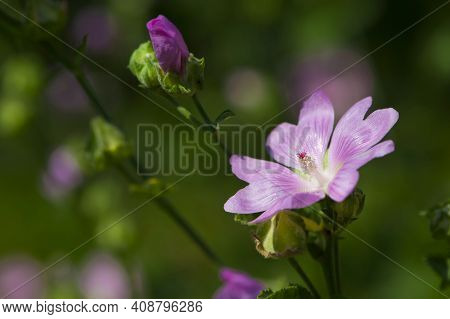 Althaea Officinalis. Delicate Beautiful Pink Meadow Flower. Purple Dwarf Mallow, Buttonweed Flower,