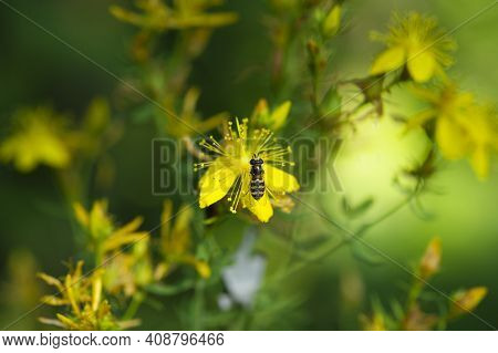 Syrphidae Fly On Hypericum Flower. Hover Fly Or Flower Fly, Syrphus Ribesii, On Stamens Of A Bright