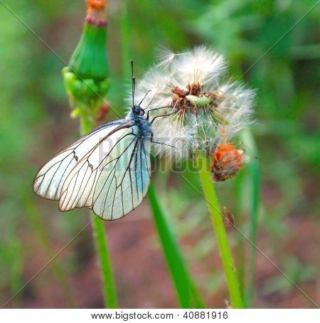 Butterfly On The Dandelion