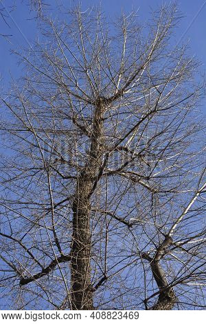 Canadian Poplar In Winter Against Blue Sky - Latin Name - Populus X Canadensis