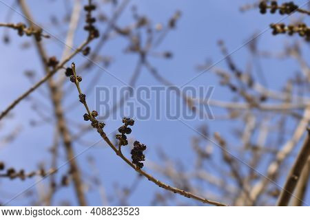 Narrow-leaved Ash Branches With Buds - Latin Name - Fraxinus Angustifolia
