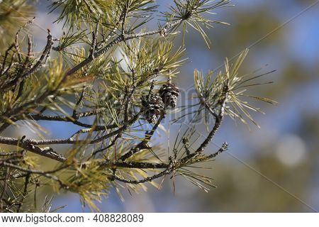 Green Pine Branches With Cones In The Forest