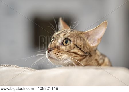 Portrait Of A Bengal Cat Peeking Out From Behind The Back Of A Sofa, Close-up, Selective Focus 1.