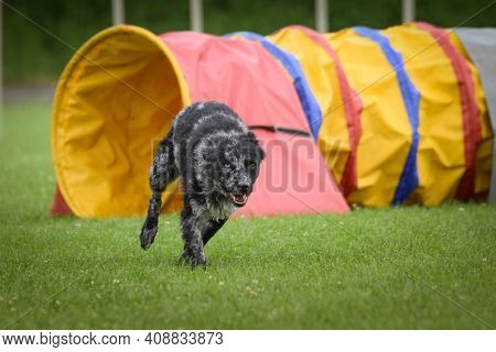 Dog, Mudi In Agility.  Amazing Evening, Hurdle Having Private Agility Training For A Sports Competit