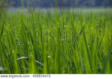Luscious Green Grass In Water Drops After Rain. Drops Of Morning Dew On Green Grass Close-up. Meadow