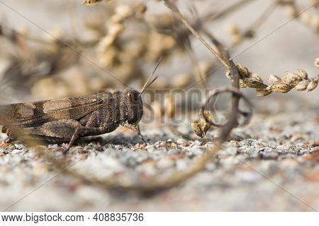 Close-up Of Large Beautiful Brown Grasshopper In Dry Grass. Close-up Dark Brown Grasshopper, Locusts