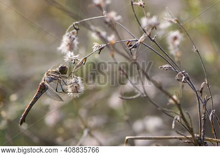 Dragonfly On Dry Plant Autumn Background. Macro The Dragonfly, Hanging On The Dried Flower Early Mor