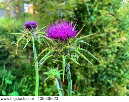 Iberian Centuary, Centaurea Iberica -a Relation Of The Cornflower Thistle, Known As Dardul By The Lo