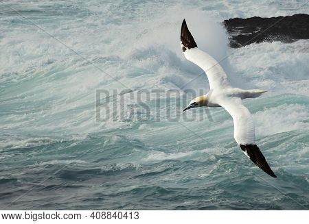 Close Up Of A Northern Gannet (morus Bassana) In Flight Against Stormy Waters, Uk.