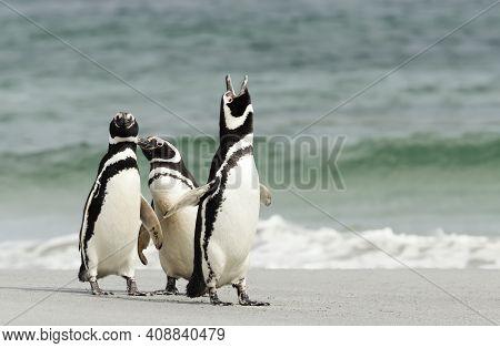 Interesting Behavior Of Magellanic Penguins On A Sandy Beach In The Falkland Islands.