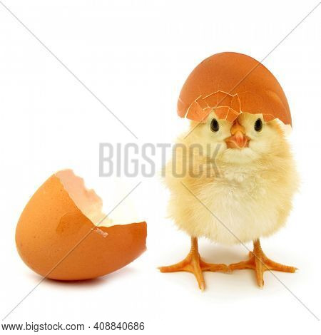 Funny newborn chick with broken egg shell on head conceptual scene just born
