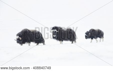 Musk Oxen (ovibos Moschatus) With A Young Musk Ox In Snowy Dovrefjell Mountains During Cold Winter I