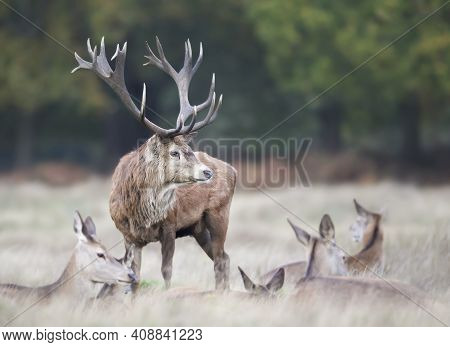 Close-up Of A Red Deer Stag Standing Among A Group Of Hinds During Rutting Season In Autumn, Uk.