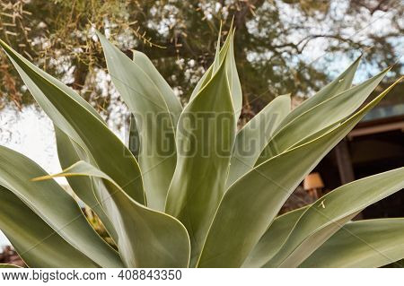 Close-up Of A Large Beautiful Bush Agave Plant In Nature. Large Green Leaves.