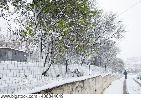 Winter Morning Suddenly Snow Covered Almond Trees Branches With Green Leaves In The Street Of The At