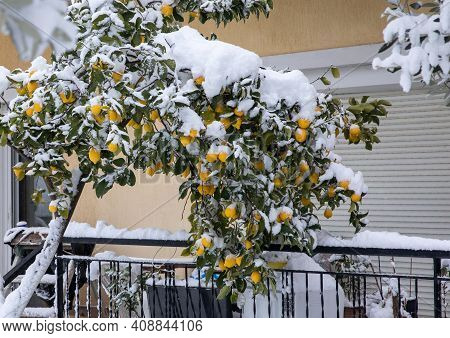 Ripe Lemons On The Tree Branches Covered With Snow In Athens, Greece, 16th Of February 2021.