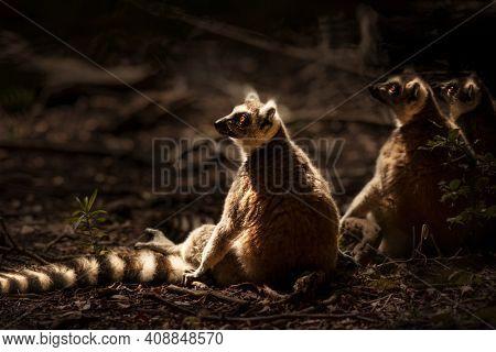 Three Nice Lemurs Sitting on the Ground and Enjoying Bright Sun Light. Ring-tailed Lemur. Wild Animals of South Africa.