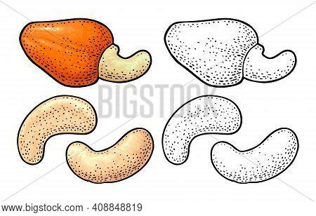 Cashew Nut With Fetus. Vector Engraving Black Vintage Illustration