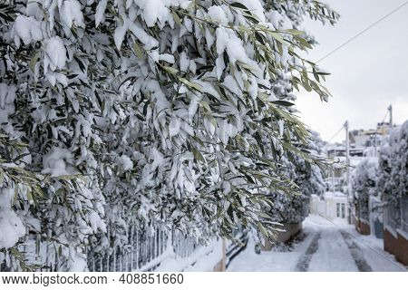 Winter Morning Snow Covered Olive Tree Branches On The Street Of The Athens City, Greece, 16th Of Fe