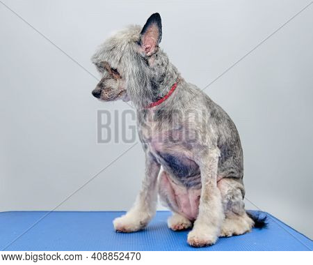 A Long-haired Chinese Crested On A Grooming Table After A Haircut In An Animal Salon.