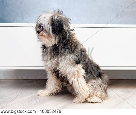 A Long-haired Overgrown Chinese Crested Before A Haircut In An Animal Salon.