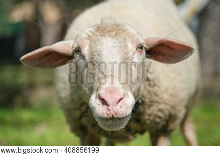 Cute Adorable Wool Sheep Face Portrait Close Up, Ovine Animals Breeding