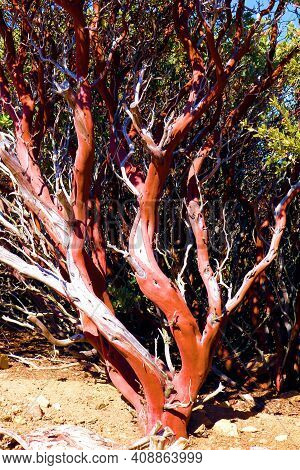 Manzanita Plant With Its Smooth Bark And Branches Taken On An Arid Plateau At A Chaparral Woodland I