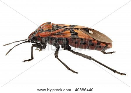 Black and Red Ground bug species Spilostethus pandurus in high definition with extreme focus and DOF (depth of field) isolated on white background poster
