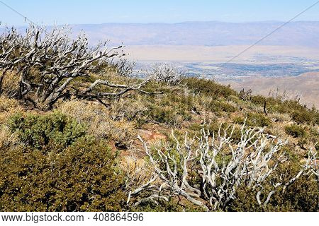 Burnt Chaparral Plants Caused From A Past Wildfire Overlooking The Colorado Desert Including The Cit